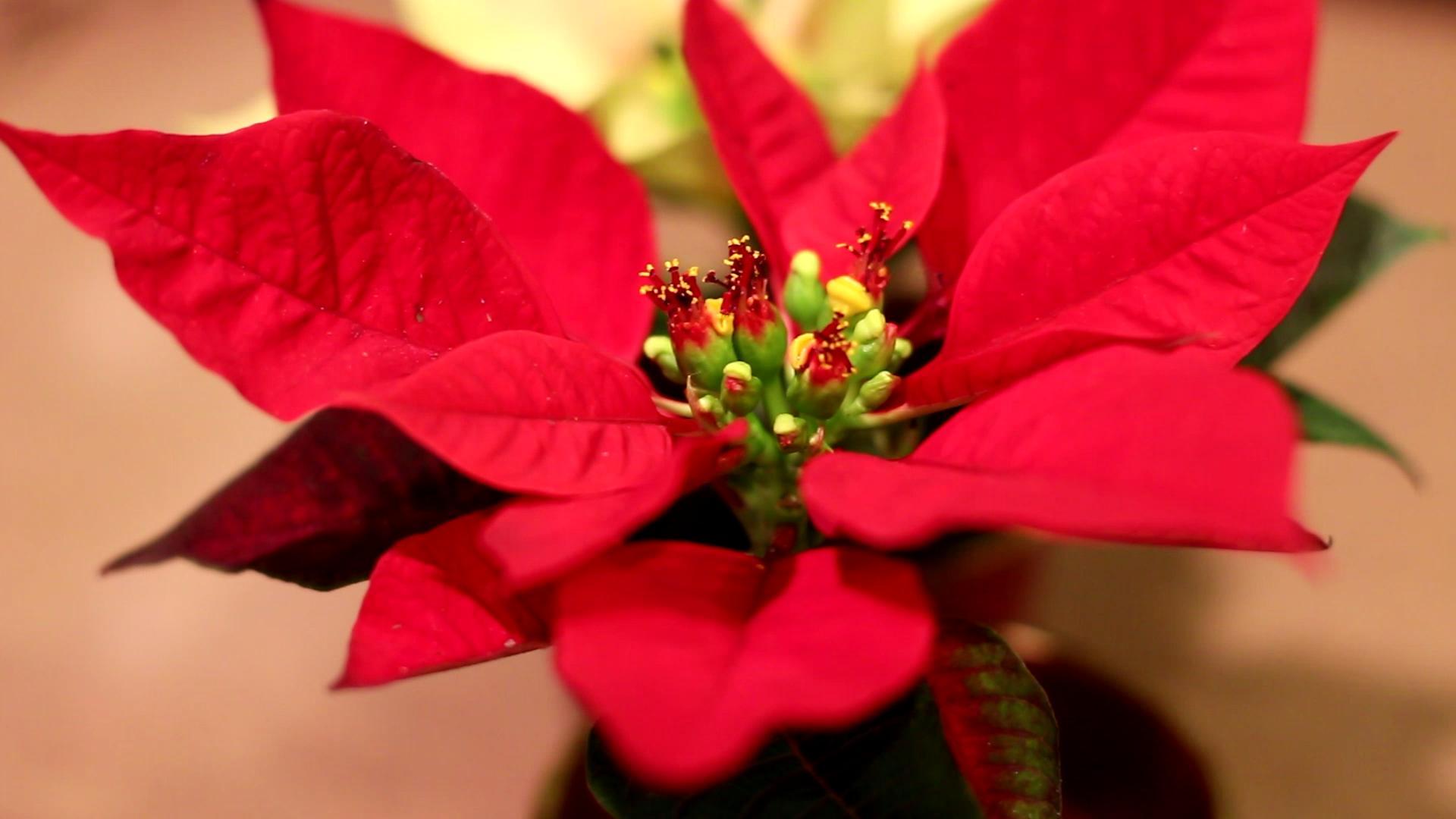 Poinsettia plant landscaper Crownsville MD